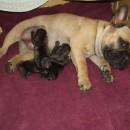 Puppies (Gortenzia iz Samary Gorodka and Sedeux le Superbe)