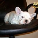 BB French Bulldog