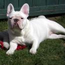 BB French Bulldog 8 months