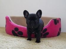 Bonnie Puppy 5 weeks
