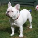 BB French Bulldog 9 months