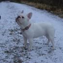 BB French Bulldog 15 months