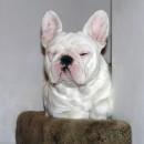 BB French Bulldog 2 years