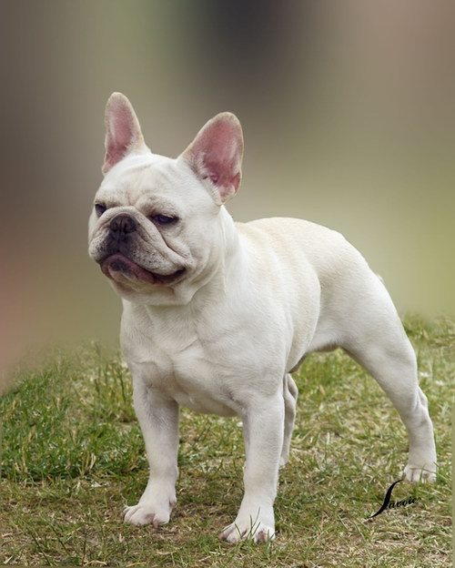 Borat French Bulldog
