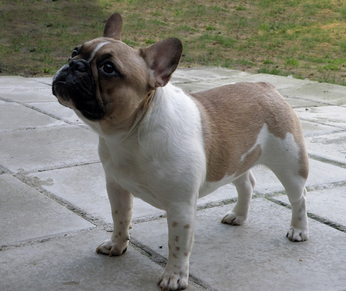 Pamela French Bulldog