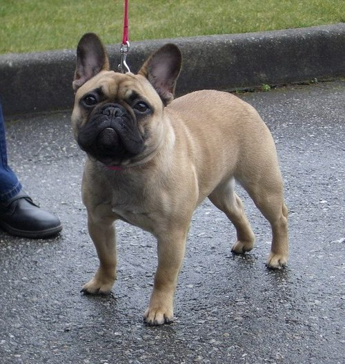 Tanzie-French-Bulldog.jpg