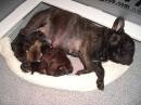 Newborn Puppies (AmberBull' Dazzling Sapphire & Felipe Dell' Oldoinyo Lengai)