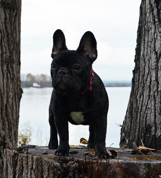 Maila Amberbull French Bulldogs Vancouver, BC