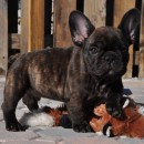 Foz E Bear as a puppy
