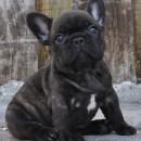 Foz E Bear as a puppy