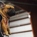 Renaissance Dog Show